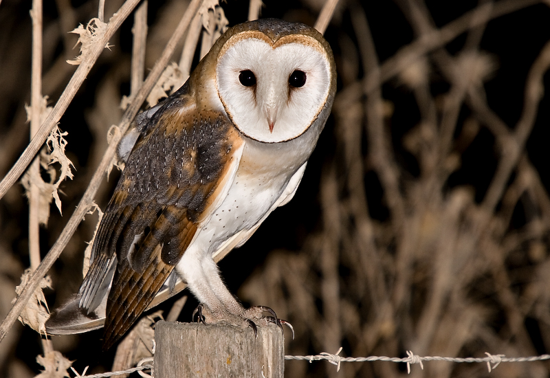 Image of: Nocturnal Animals Nocturnal Owl Observation Session Evoa Nocturnal Owl Observation Session Evoa